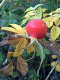 Red Roseraie de l`Hay Berry and Yellow Leaves 1 Stock Photo