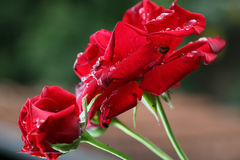 Red roses. Macro of a red roses with dew royalty free stock photos