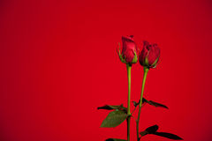 Red Roses stock images