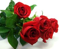 Red roses. Beautiful red roses on white background Stock Photo