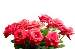 Red roses. Isilated on white background Stock Image
