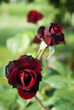 Red roses. Three red roses on an italian garden Stock Image