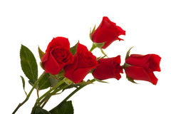 Red Roses. Elegant Red Roses on white Stock Images