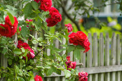 RED ROSES. Wonderful bush of red roses on a background of garden fence Stock Image