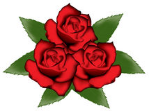 Red roses. Vector illustration of red roses isolated on white Stock Images