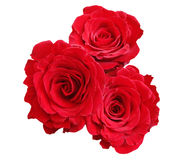 Red roses. Isolated in white background Stock Image