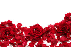 Red roses. Beautiful red roses on a white background Royalty Free Stock Photos