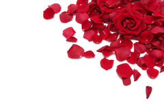 Red roses. Beautiful red roses on a white background Stock Images