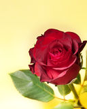Red roses. Spring flower over a yellow background Royalty Free Stock Photography