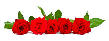 Red roses. Isolated on white background royalty free stock images