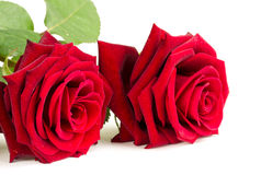 Red roses. Beautiful red roses close up over white background Royalty Free Stock Photography