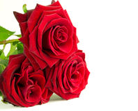 Red roses. Beautiful red roses over white background Royalty Free Stock Photos