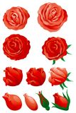 Red roses. Vector Set of red roses isolated on white background Royalty Free Stock Photography