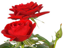 Red Roses. Over a white Background Stock Image