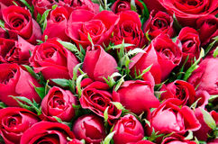 Red roses. Mean love and passion Stock Image