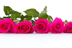 Red roses. Some beautiful roses red on a white background royalty free stock images