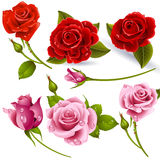 Red Roses. Set of red roses - Vector image can be re-size to any limit Royalty Free Stock Photos