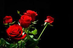 Red roses. On dark background stock images