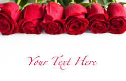 Red roses. On white background Stock Photography