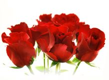 Red roses. Bunch of red roses over white Stock Photography