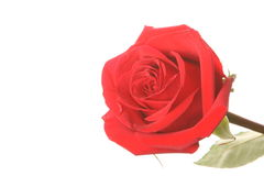 Red roses. On a white background Stock Photo