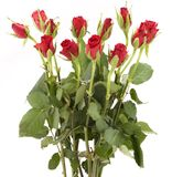 Red roses. A bunch of red roses isolated a white background Stock Image