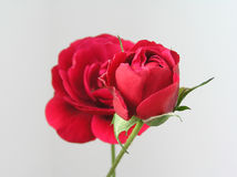 Red roses. Two red roses on background Royalty Free Stock Photos