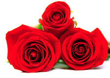 Red roses. With green leaves. Macro. Isolation Royalty Free Stock Photo