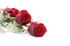 Red Roses. Two Red Roses isolated on white Stock Photo