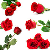 Red roses. The collage consisting of several red roses on a white background Royalty Free Stock Image