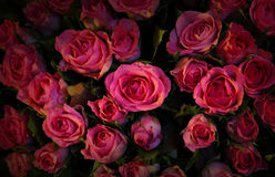 Red roses. Stock Image