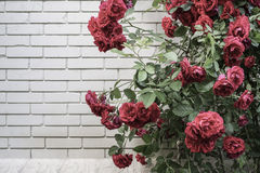 Red roses against wall with copy space Royalty Free Stock Images