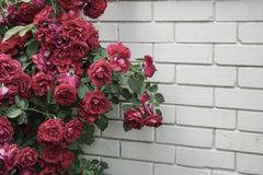 Red roses against wall with copy space Royalty Free Stock Photos