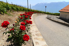 Red roses along the road in small town of Lutry, Switzerland in June Royalty Free Stock Images