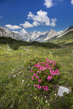 Red roses in the alps Stock Photography