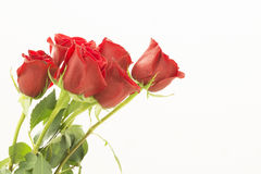 Red roses as a bouquet on the left side. Bouquet of  red roses in one one side of the image, isolated. view from the side. Few roses are  bending from the left Royalty Free Stock Photo