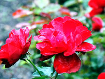 Red roses. In autumn time, Czech Republic Stock Photography