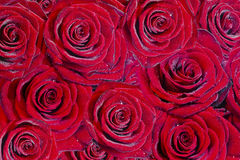 Red roses background. Many red roses as background with dew Stock Photos