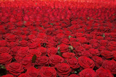 Red Roses Background Royalty Free Stock Image