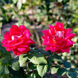 Red Roses. Bardovaya  Grew  Red  Buds  Rosa   Red roses  Buket  Valentina  Debutante  Map Stock Photography