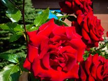 Red roses. Beautiful, passionate roses perfect for background greeting cards beautiful royalty free stock image