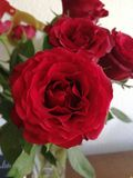 Red roses royalty free stock image