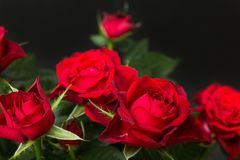 Red roses on a black background.  royalty free stock image