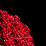 Red roses on a black background Stock Photo