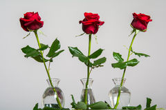 Red roses on blank background. With space for text stock images