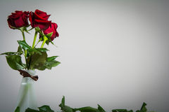 Red roses on blank background with space for text. Red roses on blank background royalty free stock image