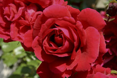 Red roses in bloom Stock Photo