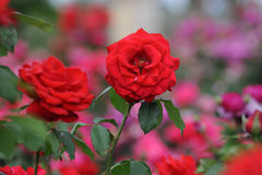 Red Roses at bloom in a local Rose garden in Mesa, Arizona. Beautiful Red Rose in a garden in a peaceful setting Royalty Free Stock Photography