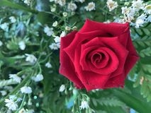 Red roses blooming on a white flower background stock image