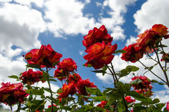 Red roses and blue sky. Upwards shot of red roses and blue sky with white clouds Stock Image
